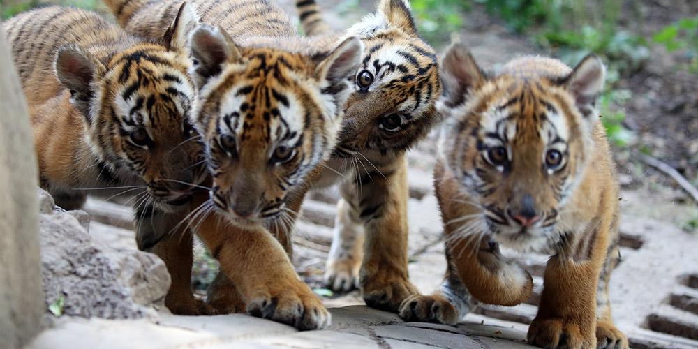 Seis filhotes de tigres do sul da China se encontrarão com o público em Henan