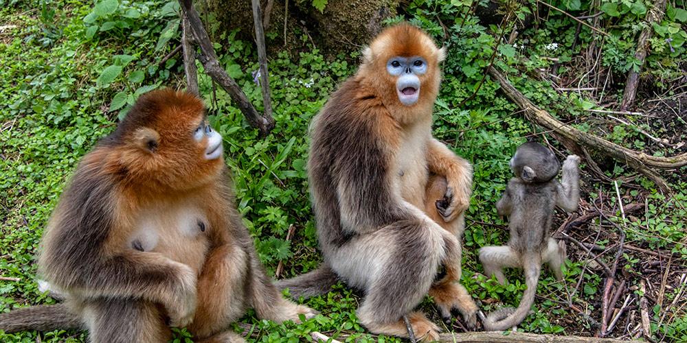 Número de macacos-dourados quase dobra em Shennongjia, província de Hubei