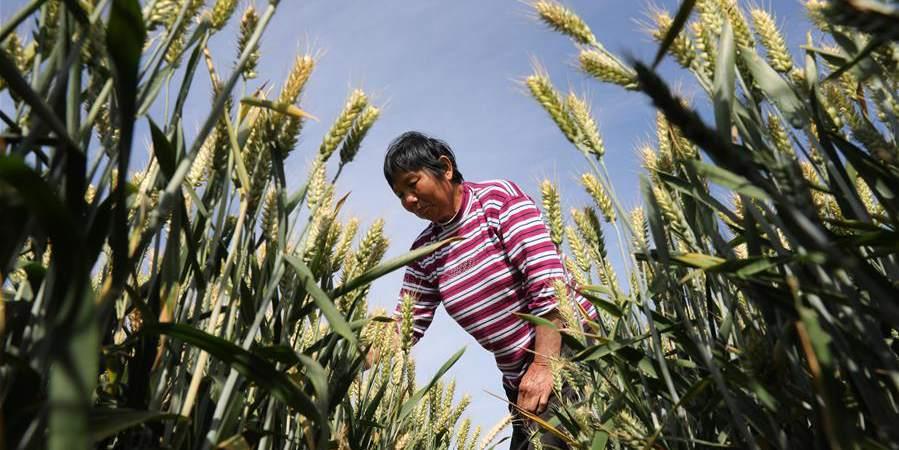 Agricultores trabalham no dia do termo solar chinês Xiaoman