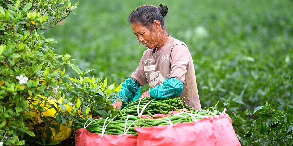 Aldeia na província de Guangxi tem boa colheita de pimenta