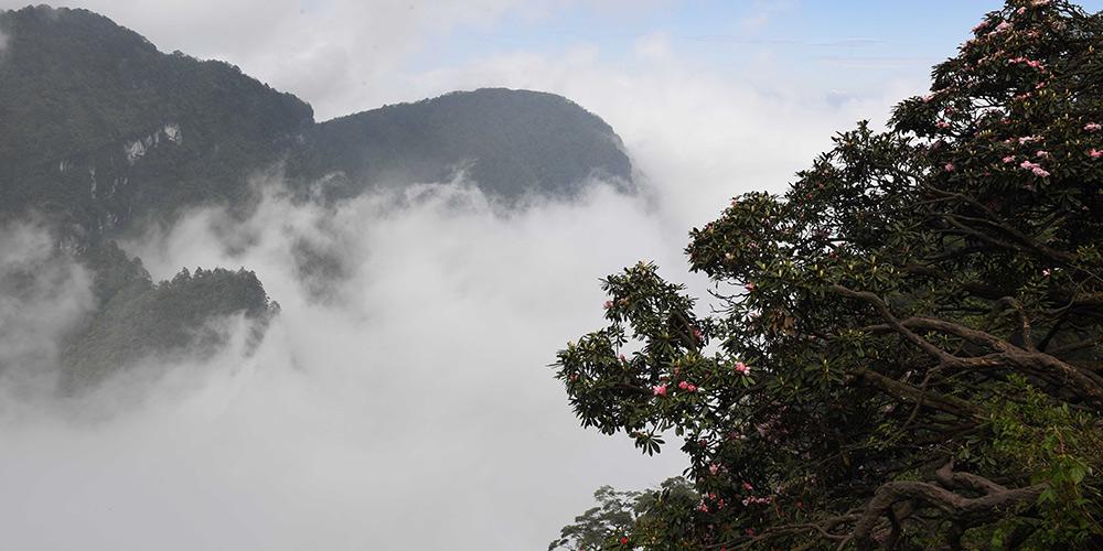 Azaleias florescem no Monte Emei em Sichuan