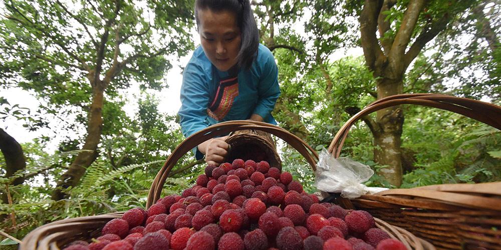 Temporada de colheita do morango chinês começa em Guangxi, sul da China