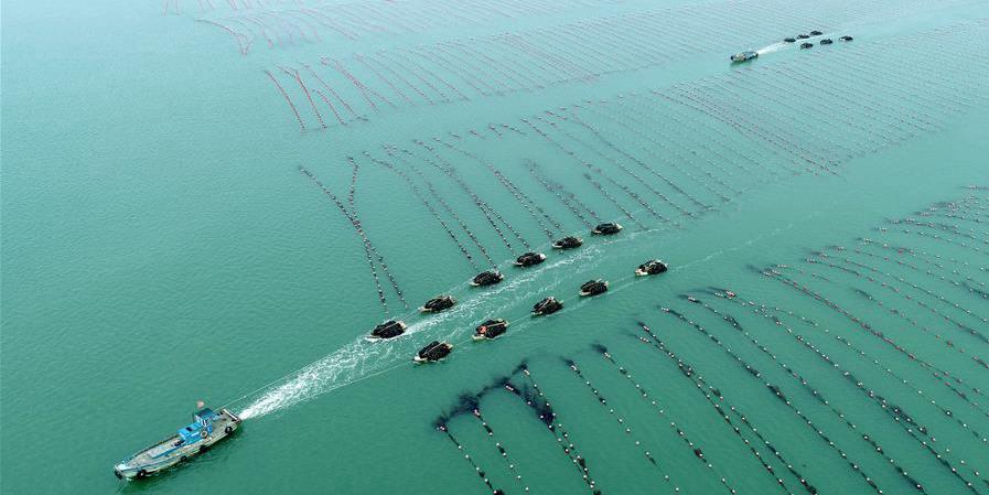 Pescadores colhem algas em Shandong, leste da China