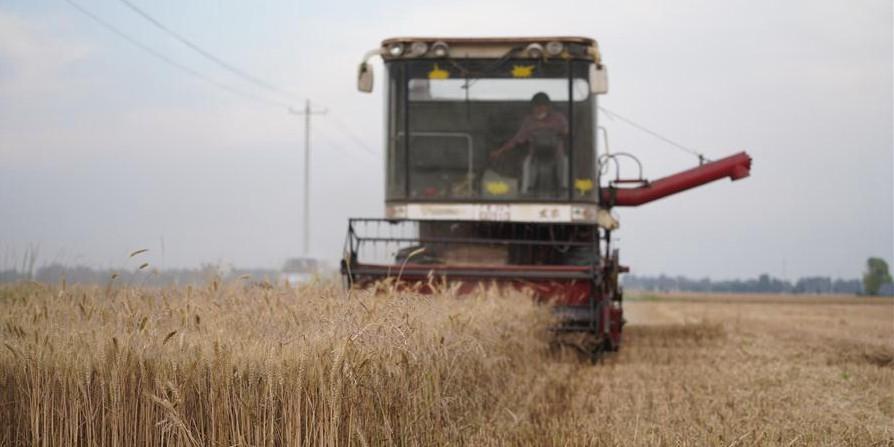 Agricultores colhem trigo em Hebei