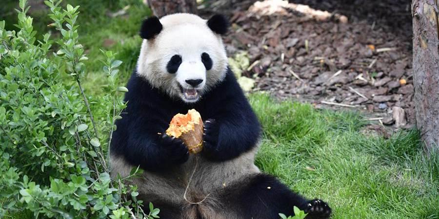 """""""Casa dos Pandas"""" abre ao público no zoológico de Xining, província de Qinghai"""