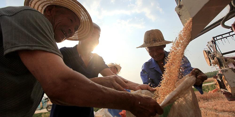 Agricultores chineses começam a colher trigo de inverno