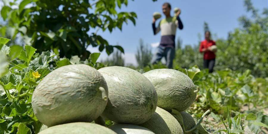 Agricultores colhem melão no distrito de Bachu em Xinjiang, noroeste da China