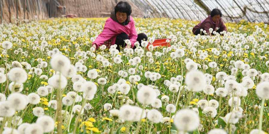 Aldeia de Hebei desenvolve plantio de dente-de-leão para impulsionar economia local