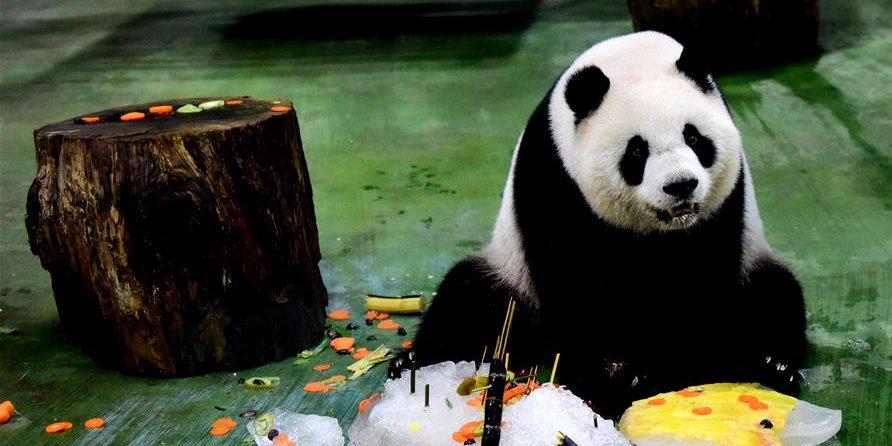 """Panda-gigante """"Yuanzai"""" comemora o 6º aniversário em Taiwan, sudeste da China"""