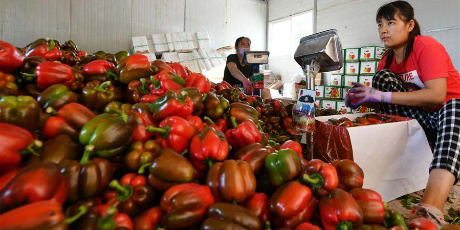 Cooperativa de aldeia de Shandong exporta legumes de alta qualidade para cidades russas