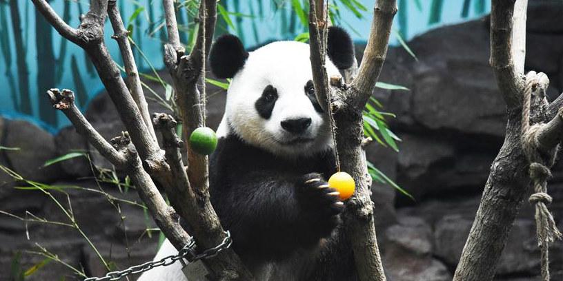 Zoológico Mundo de Animais Selvagens de Jinan ajuda os pandas gigantes a se refrescarem