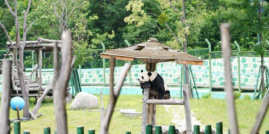 Pandas-gigantes Sijia e Youyou brincam na Casa do Panda-gigante em Heilongjiang