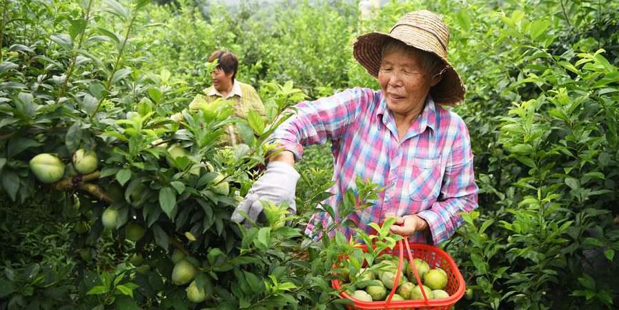 Agricultores colhem ameixas na aldeia Wuniu em Chongqing, sudoeste da China