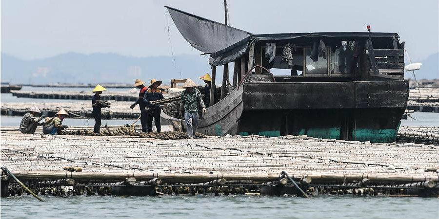Produtores chineses colhem ostras em Qinzhou, sul da China