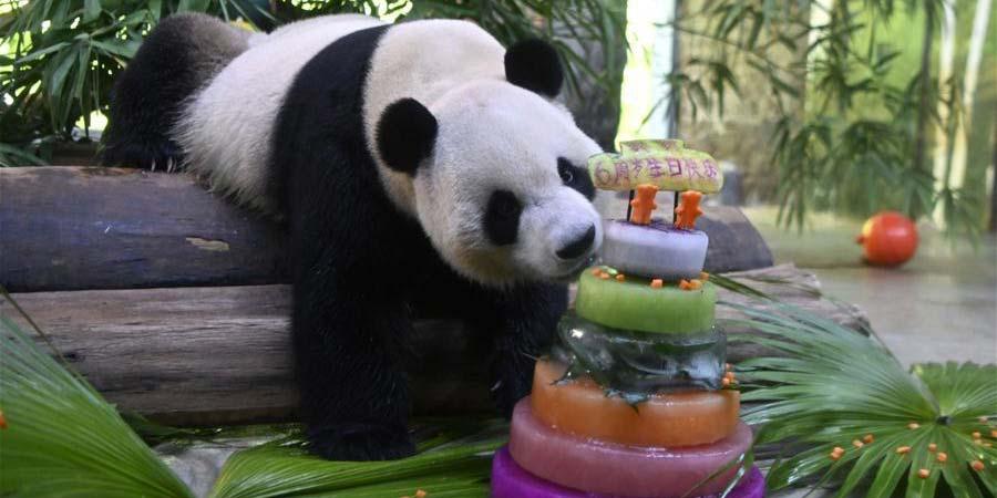 Pandas-gigantes Gong Gong e Shun Shun celebram 6º aniversário em Haikou