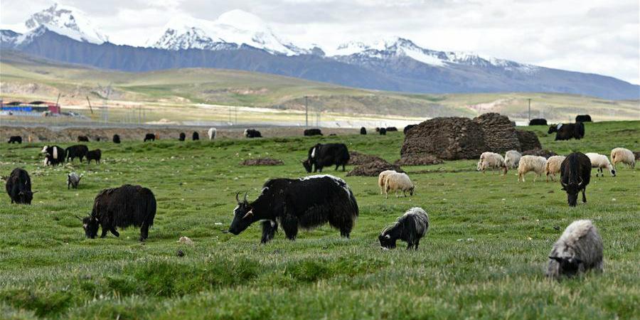 Cenário de pastagem no Tibet