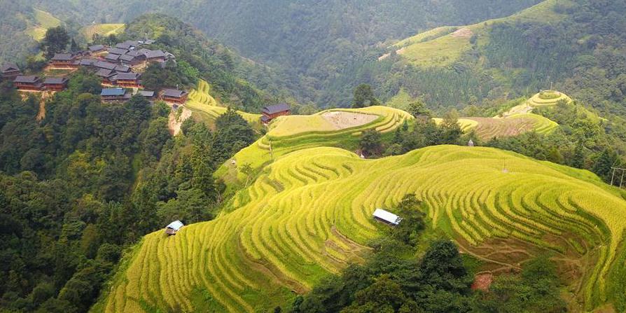 Aldeões colhem arroz em casca em Guizhou, sudoeste da China