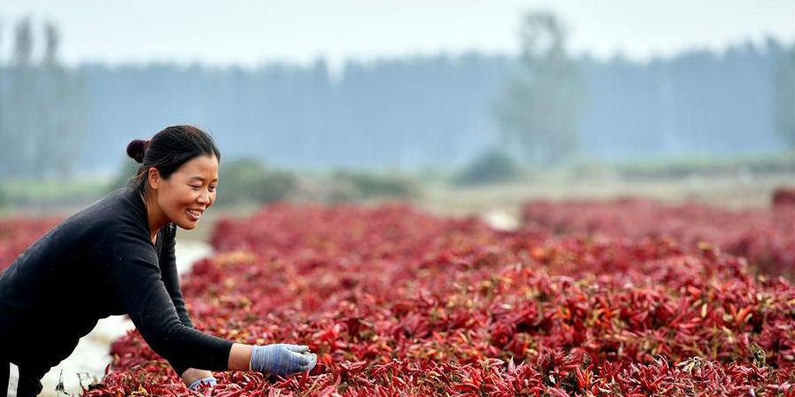 Vila de Naodian desenvolve a produção de pimenta para aumentar renda dos moradores