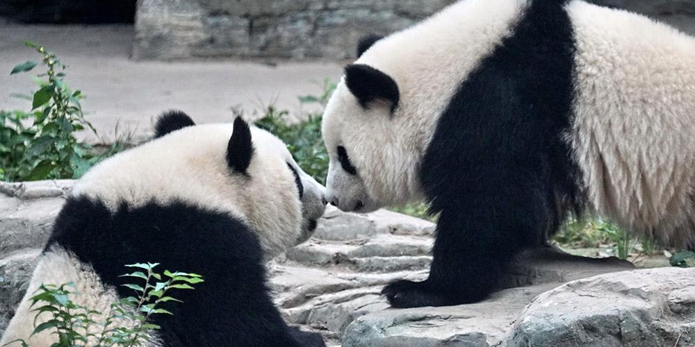 Gêmeos de pandas-gigantes fazem estreia em Beijing