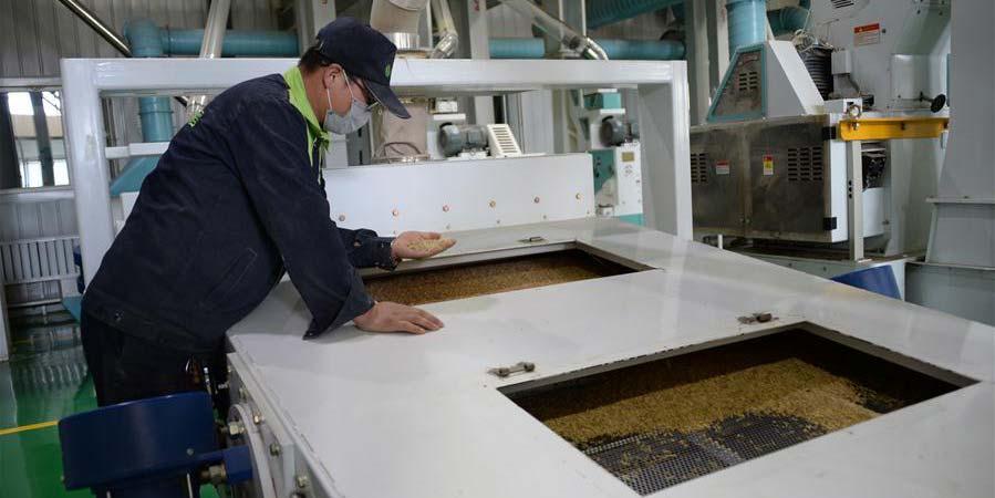 Província de Heilongjiang entra no período de compra e processamento de arroz