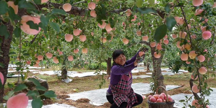 Agricultores colhem maçãs em Neiqiu, província de Hebei, no norte da China