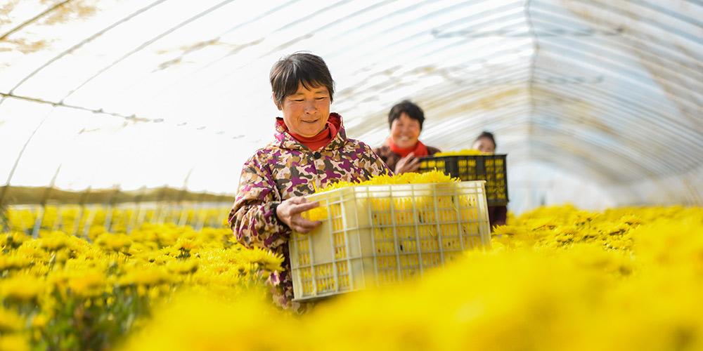 Agricultoras colhem flores de crisântemo em Hebei