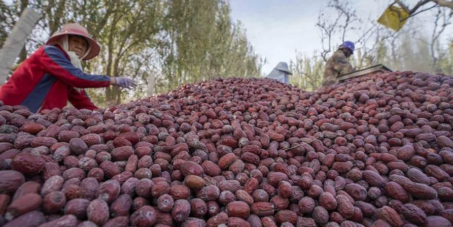 Colheita de jujuba tem início em Ruoqiang em Xinjiang