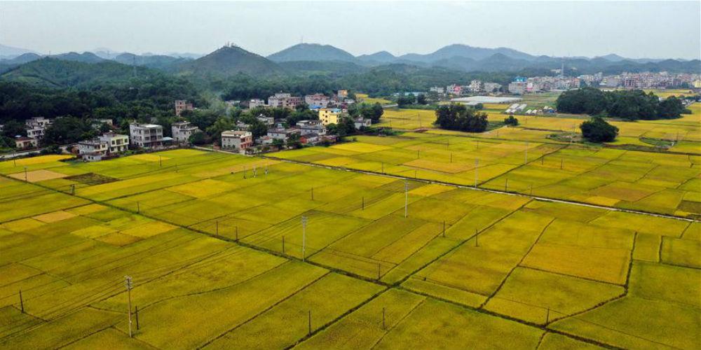 Paisagem de arrozais em Guangxi, no sul da China