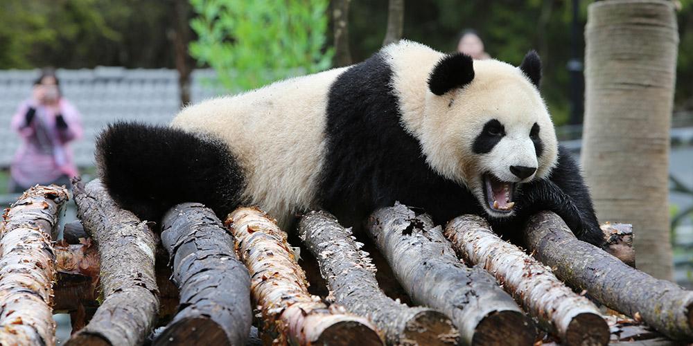 Parque de conservação e pesquisa do panda gigante de Jiawuhai é inaugurado no sudoeste da China