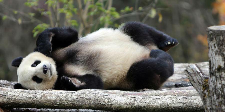 Quatro pandas são apresentados no sudoeste da China