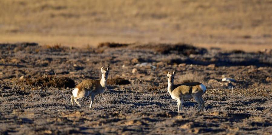 Fotos: Vida selvagem em pradaria em Qinghai, noroeste da China