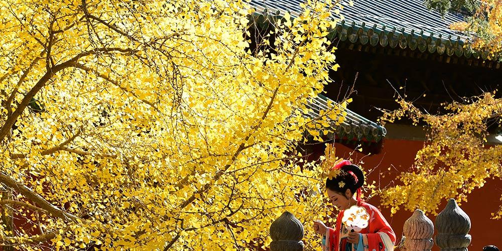Paisagem de árvores de ginkgo no Templo Dajue em Beijing