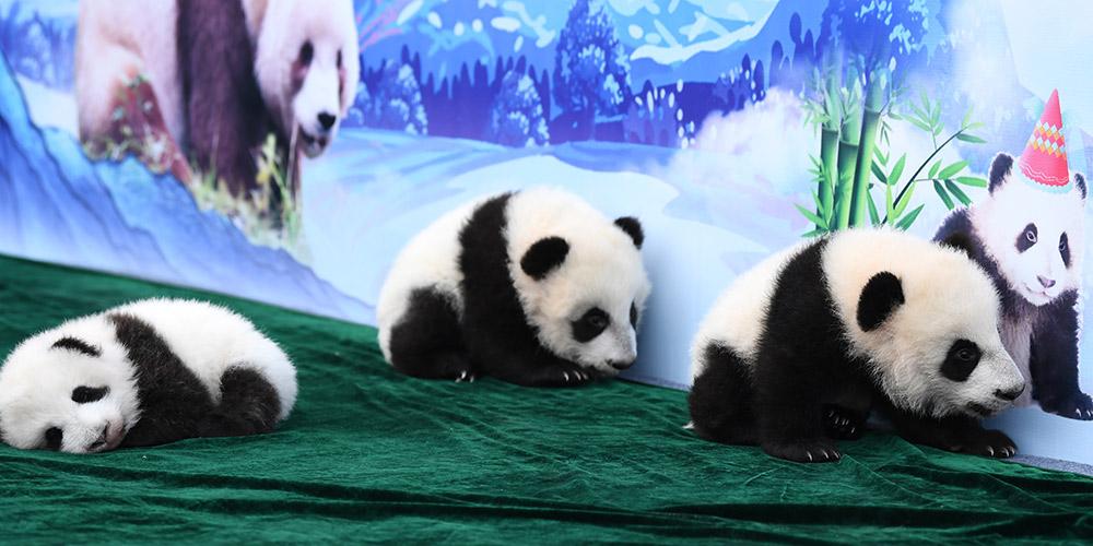 Filhotes de panda gigante são apresentados ao público em Xi'an