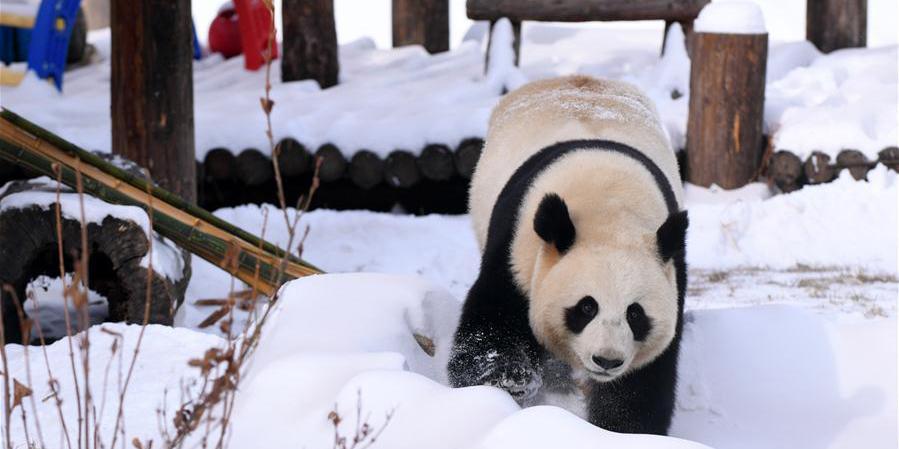 Panda-gigante se diverte na neve em Changchun