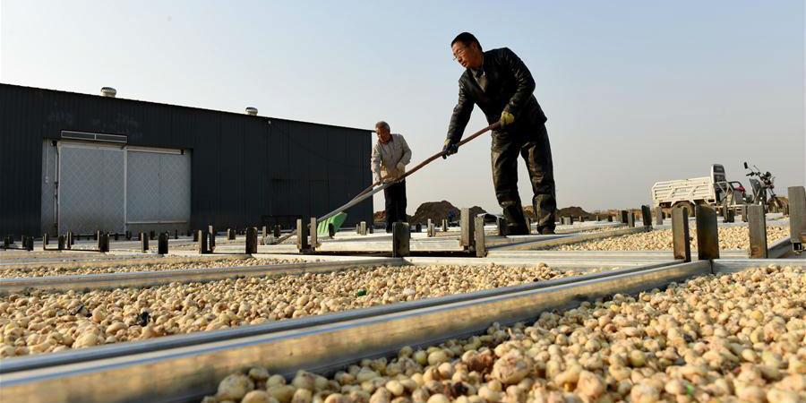 Plantio de ervas da medicina tradicional chinesa ajuda a aumentar renda de agricultores locais em Hebei