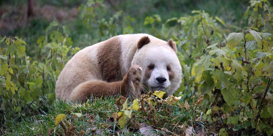 Adotado o único panda gigante marrom em cativeiro do mundo