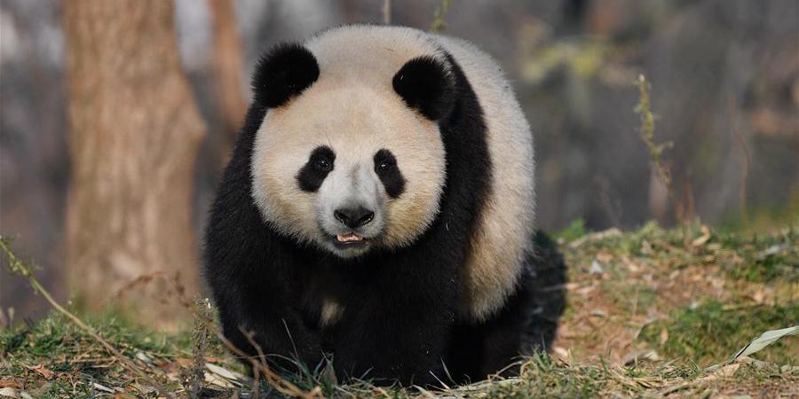 Fotos: Pandas-gigantes na base de pesquisa em Xi'an, noroeste da China