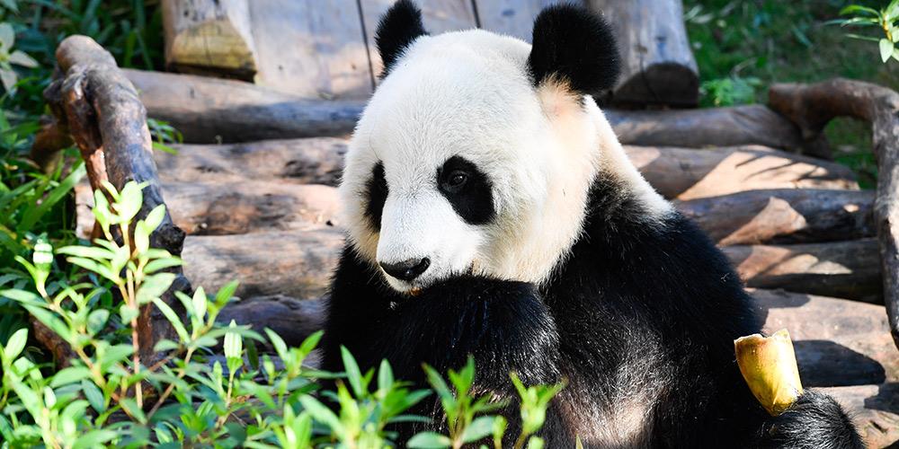 Pandas gigantes se divertem no Parque de Vida Selvagem Tropical de Hainan