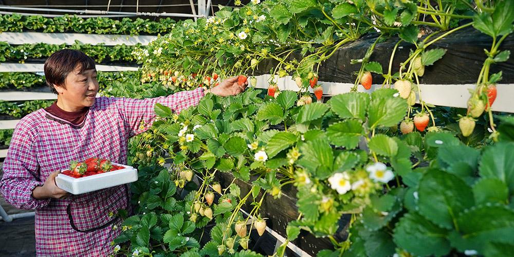 Agricultores adotam modo ecológico de plantio de morango em Hebei