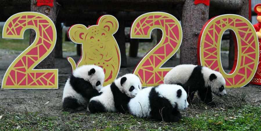 Fotos: Filhotes de panda-gigante nascidos em 2019 na Reserva de Natureza Nacional de Wolong em Sichuan
