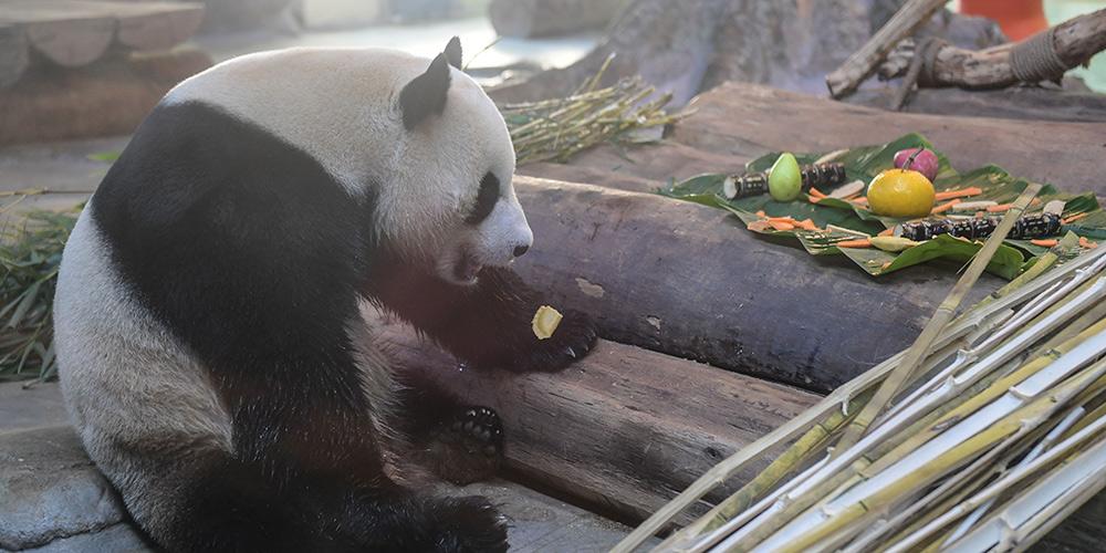 Funcionários fazem petisco em forma de guioza para pandas gigantes em Haikou