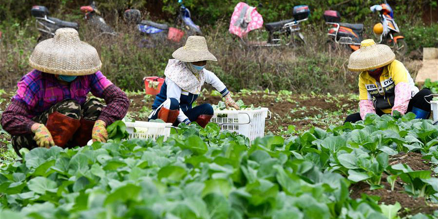 Cidade de Haikou orienta bases de produção de hortaliças e agricultores para garantir o fornecimento