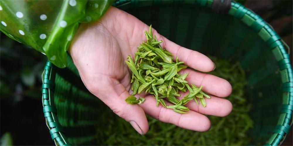 Plantações de chá em Zhejiang começam a primeira colheita na primavera em meio a medidas preventivas contra coronavírus