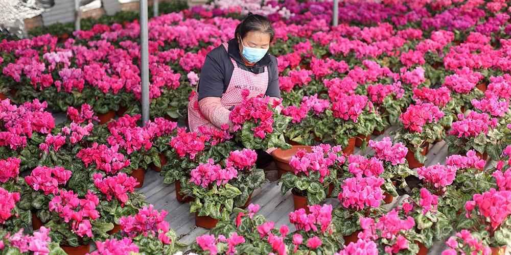 Agricultores em Hebei retomam trabalho em estufas
