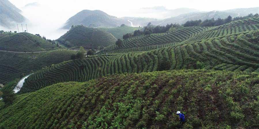 Fotos: empresa de chá em Guizhou ajuda a aumentar renda dos agricultores com poucos recursos