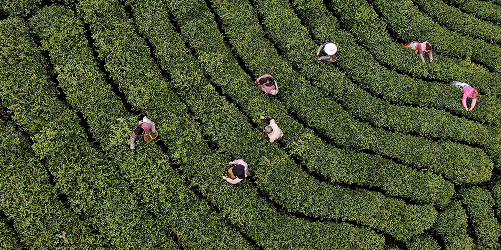 Trabalhadores colhem chá em plantação em Xinyang, província de Henan