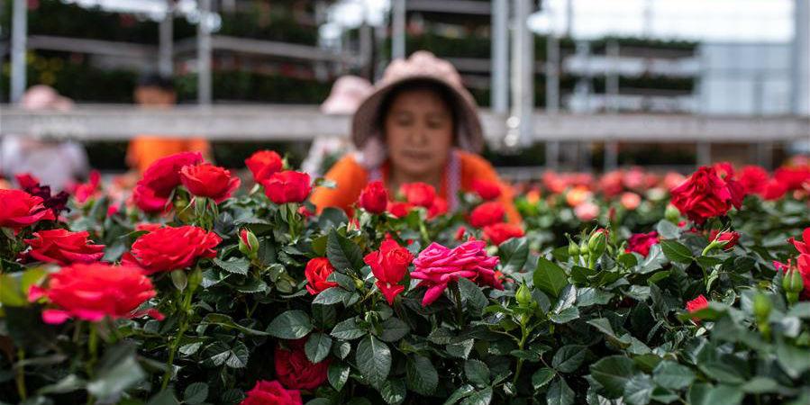 Indústria de floricultura em Yunnan ajuda a aumentar a renda dos moradores locais
