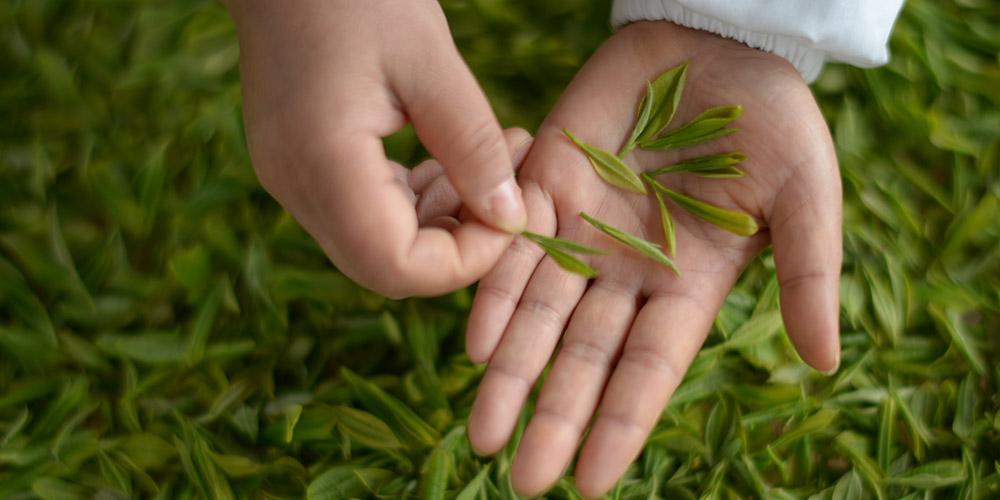 Sabor dos primeiros brotos de chá na primavera