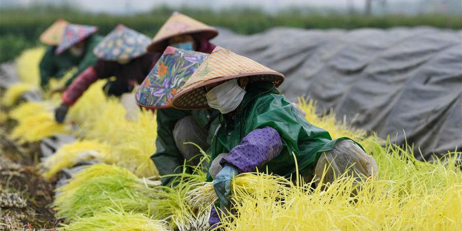 Agricultores chineses colhem cebolinhas amarelas em campos