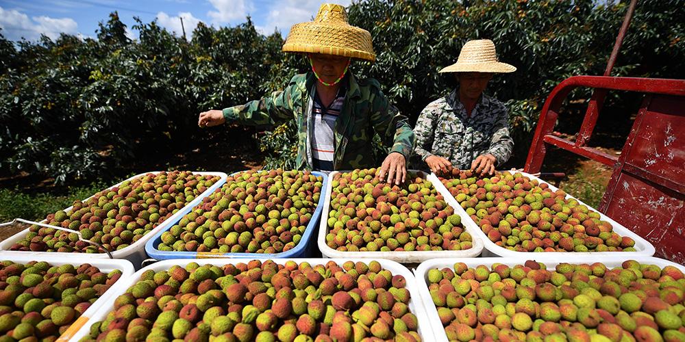 Começa colheita da lichia em Hainan